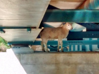 Baa-d day for sheep stuck under bridge