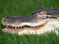 Woman killed in alligator attack at US resort