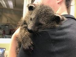 Zoo releases footage of five-week-old baby bearcat snoring