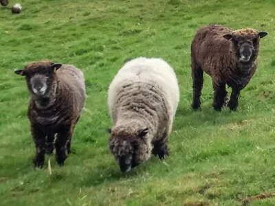 English Heritage team member offers sanctuary to sheep