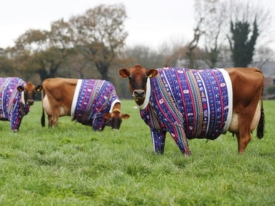 Jersey farmer dresses cows in Christmas jumpers to usher in festive spirit