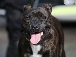 Staffordshire Police Staffie sniffs out £250,000 worth of Class A drugs