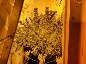 The cannabis plants found in Bilston. Photo: Bilston Police