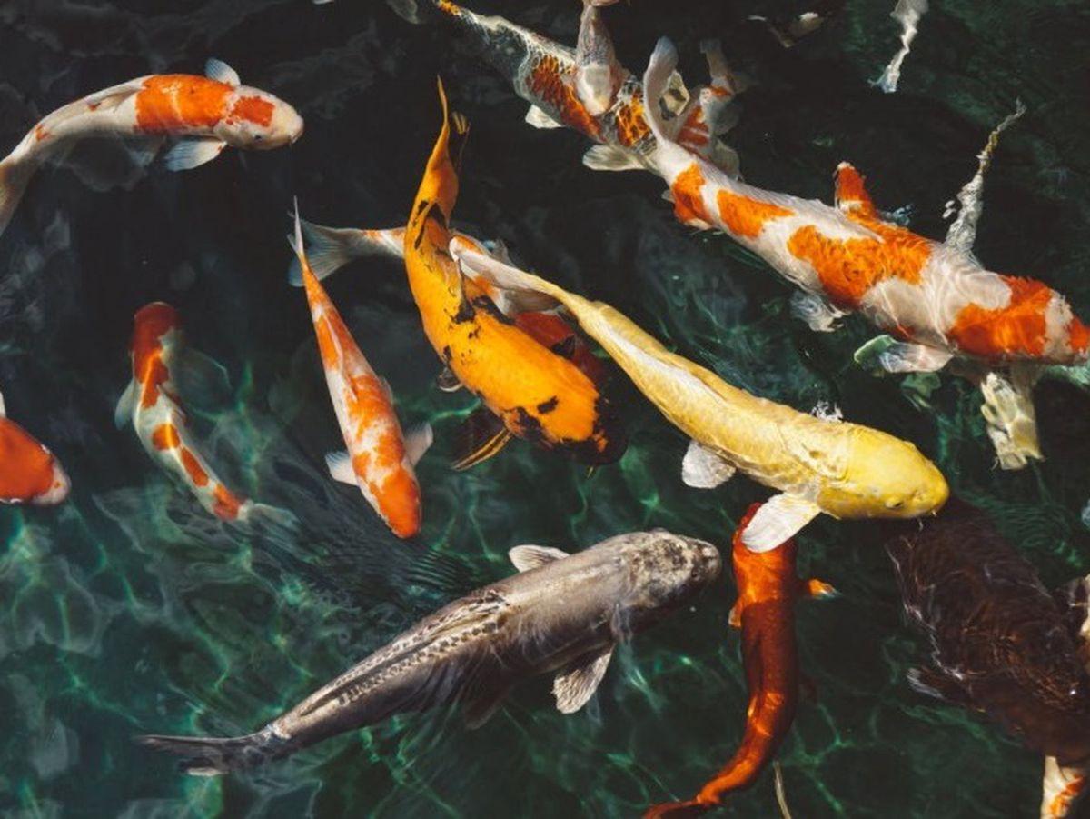 Move to stop 'cruel' goldfish fair prizes in Cannock