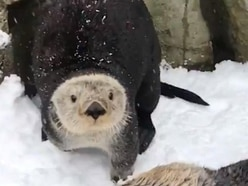 Footage from chilly Vancouver shows sea otters enjoying a snow day