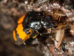 Young beetles engage in sibling rivalry when competing for parental attention