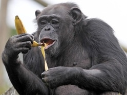 Chimpanzees bond over watching movie together – study