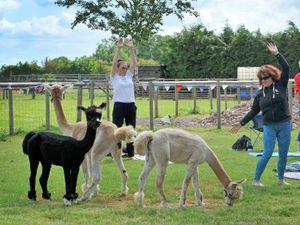 Alpaca Yoga, taking place at Wildwood Alpacas, Codsall