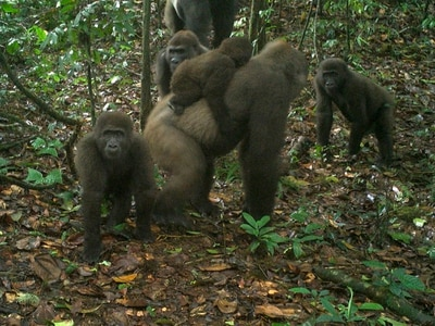 Rare gorillas with babies in Nigeria captured on camera