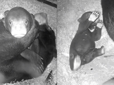 Watch this baby sun bear enjoying hugs from their mum