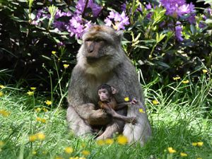 Nine baby Barbary macaques have been born at Trentham Monkey Forest in Staffordshire over the summer