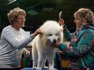 A Samoyed dog named 'Harry' is prepared for show at the Birmingham National Exhibition Centre (NEC) for the third day of the Crufts Dog Show. PA Photo. Issue date: Saturday March 7, 2020. See PA story ANIMALS Crufts. Photo credit should read: Jacob King/PA Wire.