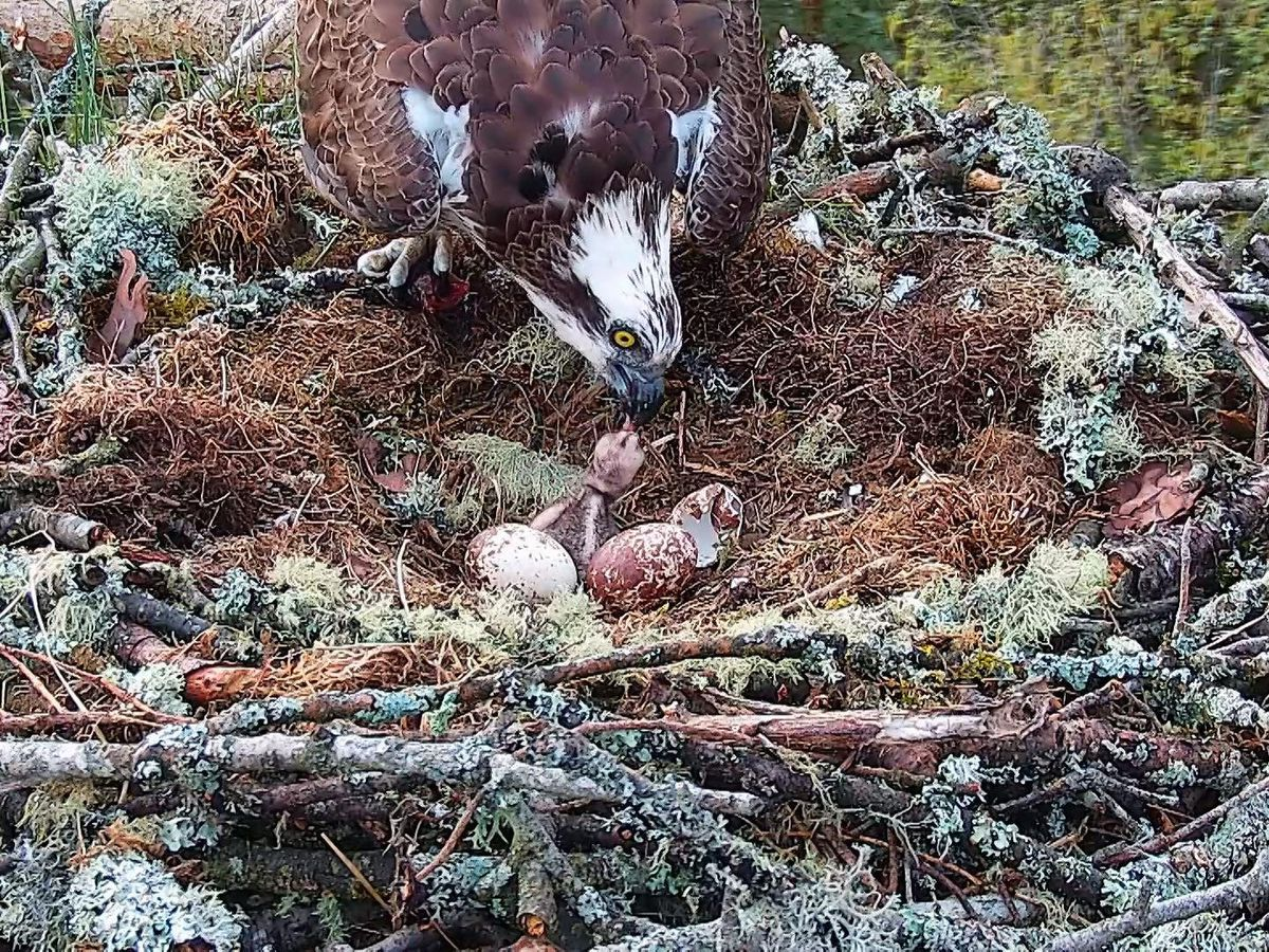 The osprey chick at Loch of the Lowes