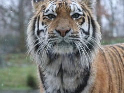 Watch Amur tigers experience snow for the first time at Knowsley Safari Park
