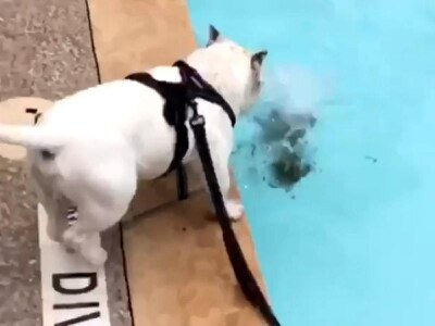 French bulldog puppy goes viral as she takes a tumble into a swimming pool