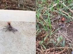Watch: This meaty huntsman spider was no match for a fearless wasp