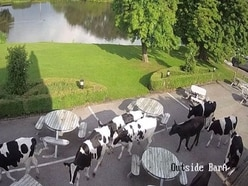 WATCH: Thirsty cows take over Staffordshire pub beer garden