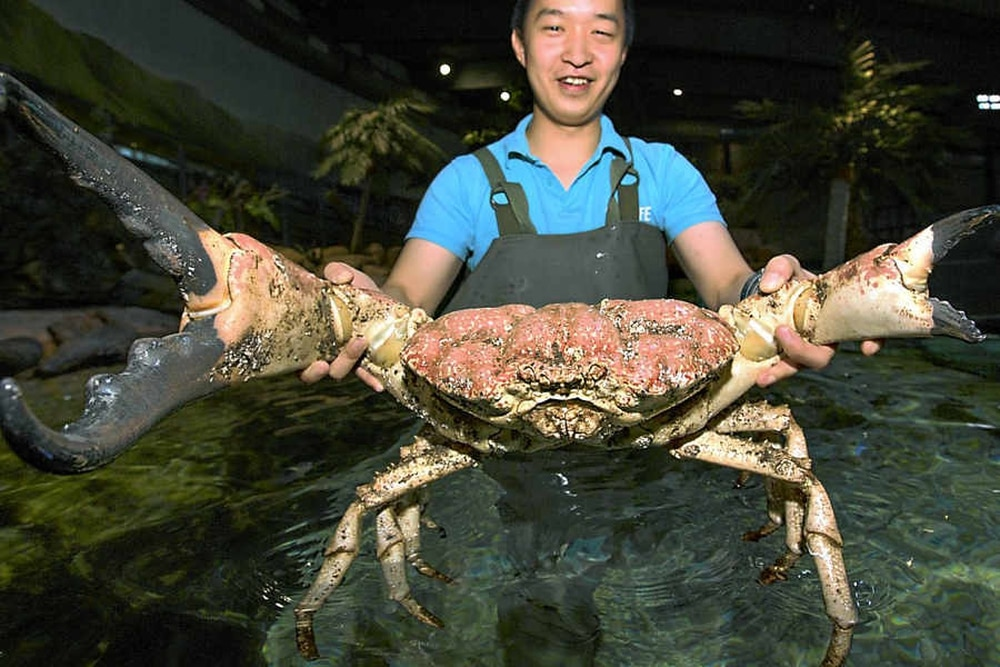 Giant Tasmanian king crab gets claws into new home   Express & Star