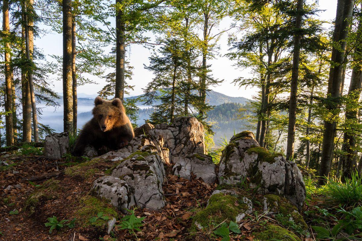 A brown bears at Notranjska Regional Park. Photo: Marc Graf