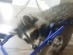 Injured baby raccoon able to walk again thanks to a custom-made wheelchair