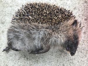 The hedgehog was found with severe injuries after being kicked around by the teenagers. Photo: RSPCA