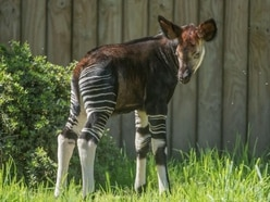 Chester Zoo has a new okapi baby and it couldn't be more adorable