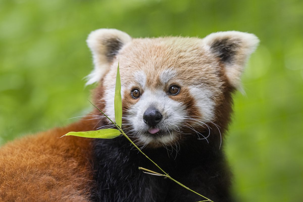 It is the first time West Midland Safari Park will have red pandas on site