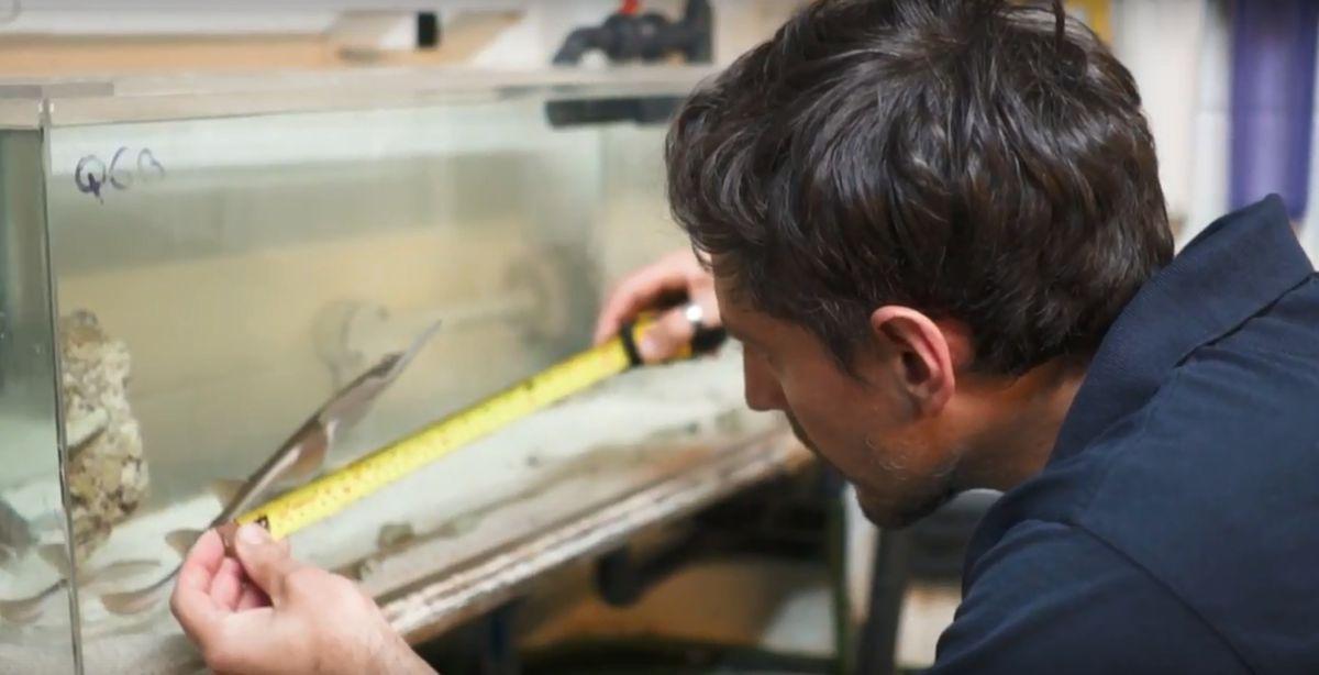 Six rare endangered blackchin guitarfish have been born at Birmingham Sea Life Centre