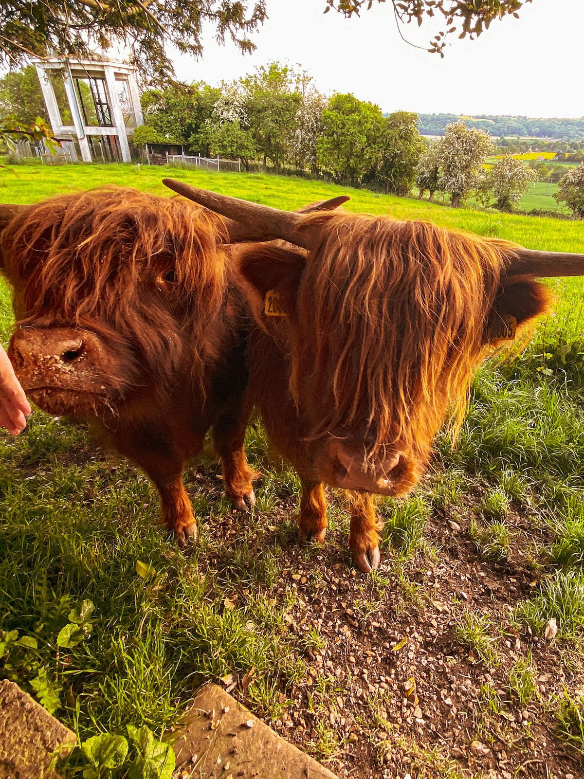 Friendly Highland cattle at Tasley, Bridgnorth. Photo by Adam Hirons posting as @ad_ventures85 on Instagram.
