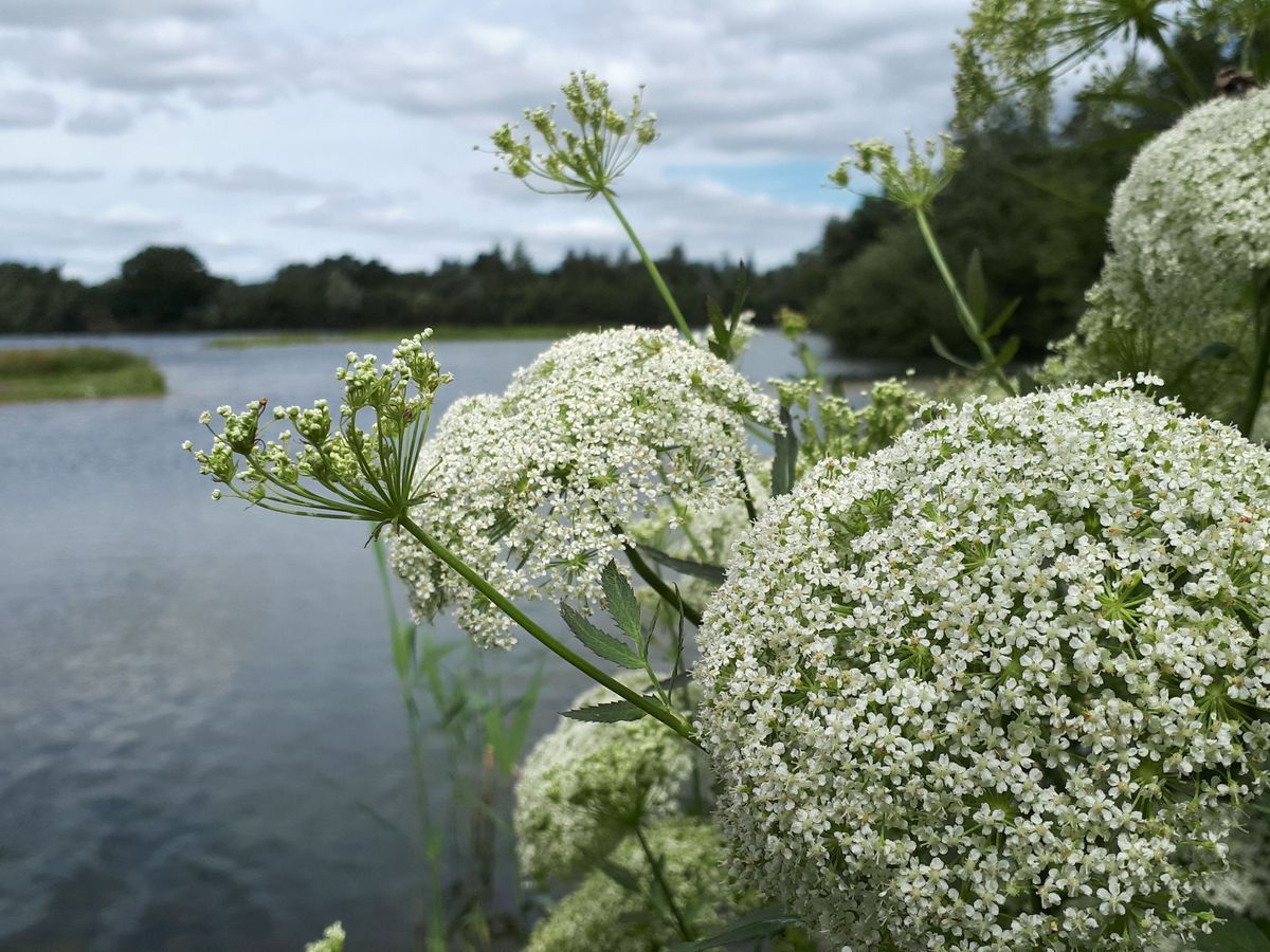 Lincolnshire Wildife Trust hopes to support rare plants such as greater water parsnip with its project (Rachel Shaw)