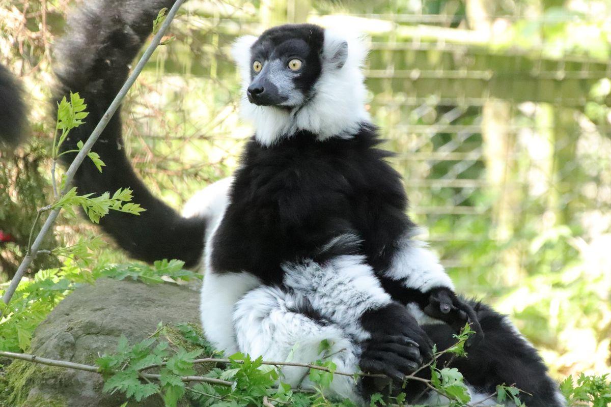 A black and white ruffed lemur