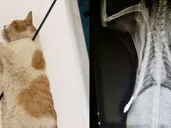 This cat was impaled by an arrow but may make a full recovery