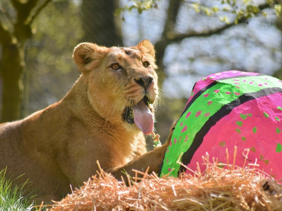 Dudley Zoo lion Kyra enjoys an eggy Easter breakfast