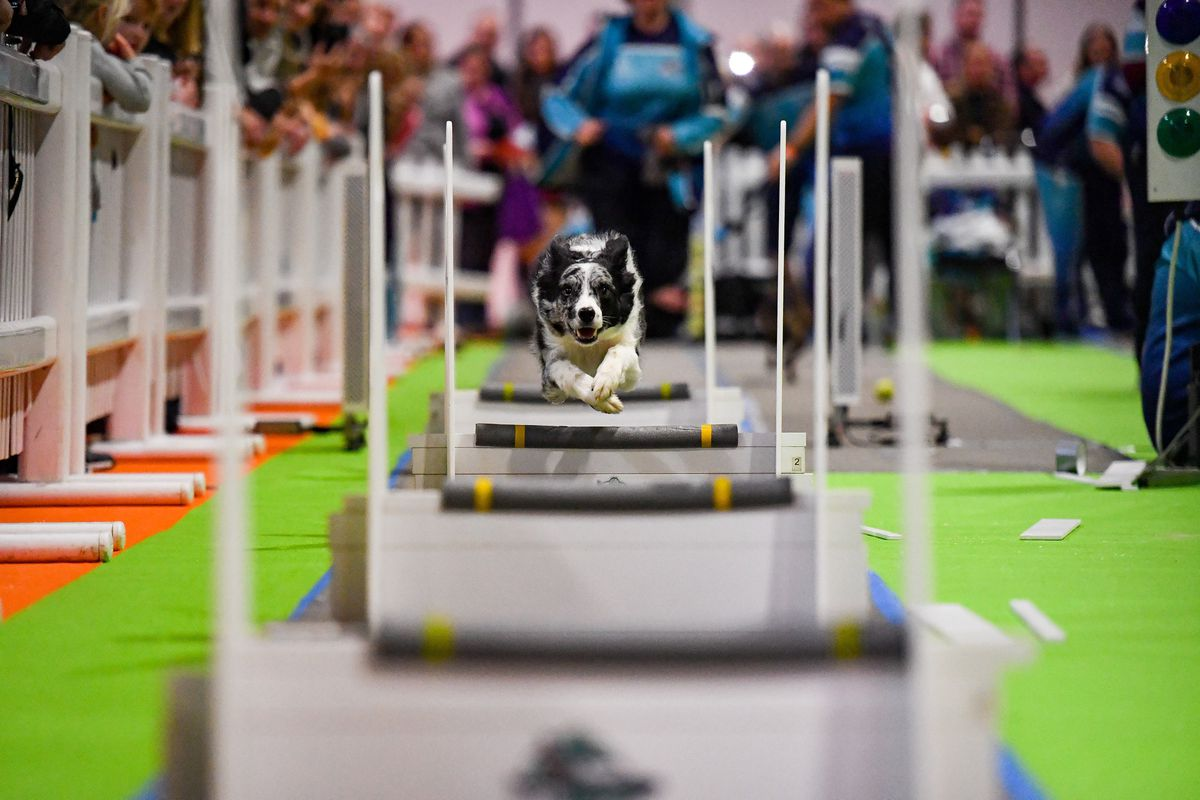 Dogs tackle the fly-ball course at the National Pet Show at the NEC, Birmingham. PA Photo. Picture date: Sunday November 3, 2019.  Photo credit should read: Jacob King/PA Wire.