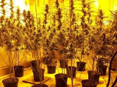 Cannabis factory found in Palfrey