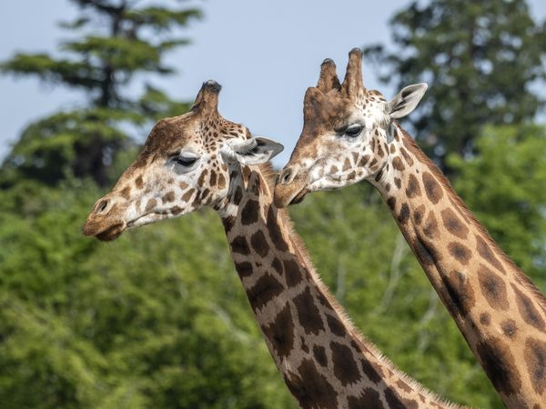 The two-story lodges will offer panoramic views of the Park's reserves including giraffe