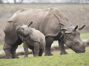 Indian rhino first-time mother Seto looks after her six-month-old calf Inesh