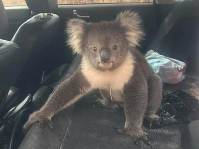 'Persistent' koala jumps into man's car in Australia and refuses to get out