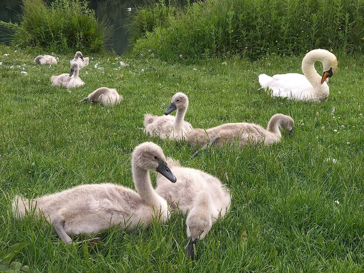 The swans, pictured a few days ago