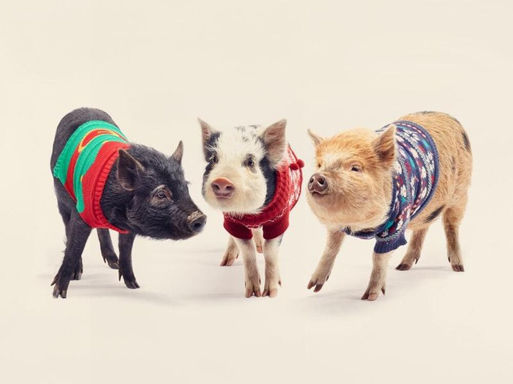 e9b91cb3 Just take a look at these pigs in Christmas jumpers | Express & Star