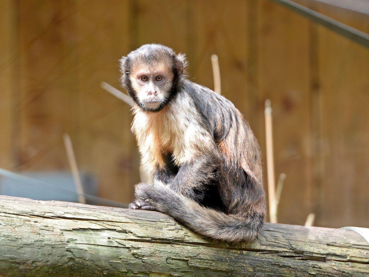 A yellow-breasted capuchin monkey