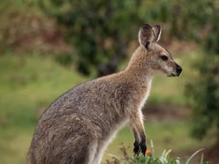 Missing wallaby spotted after escaping from animal park