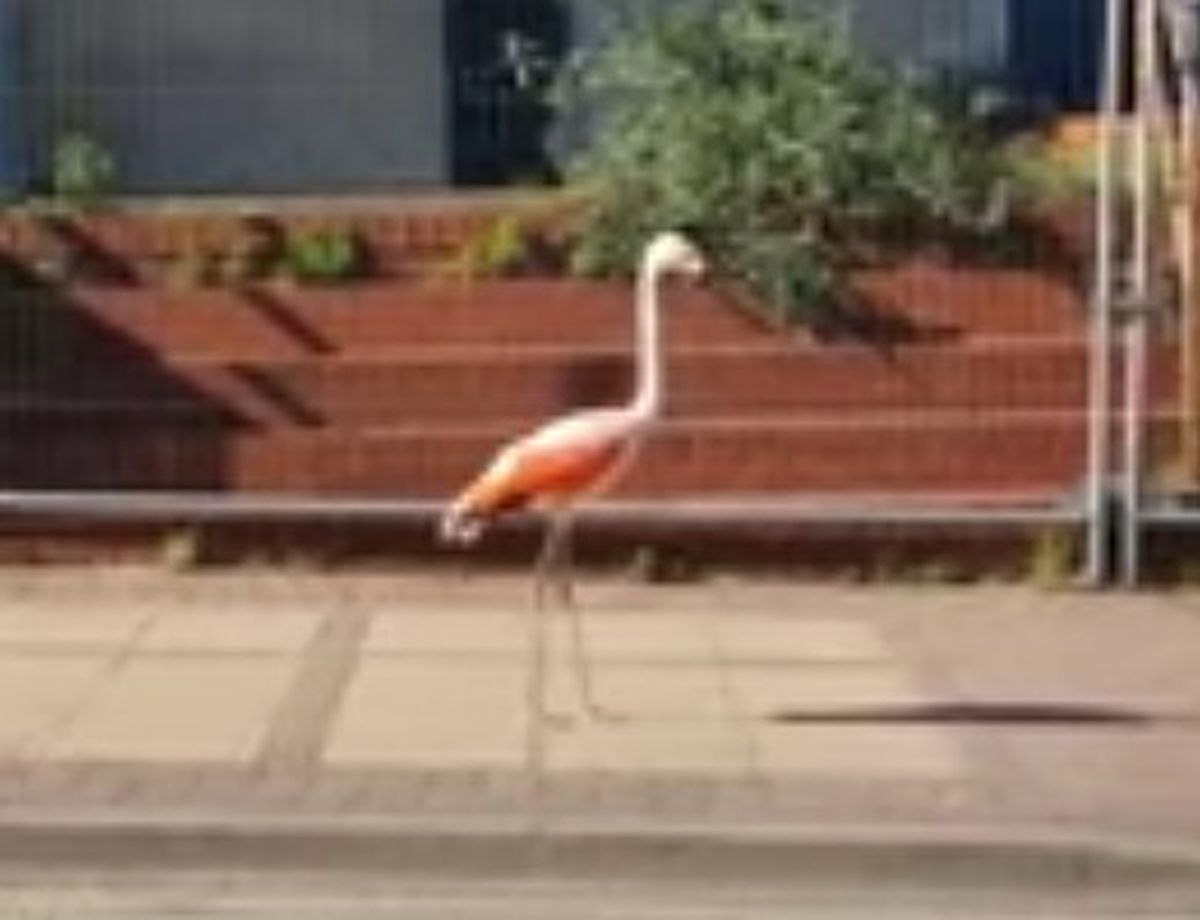 A flamingo from Dudley Zoo was spotted strolling down the main road outside