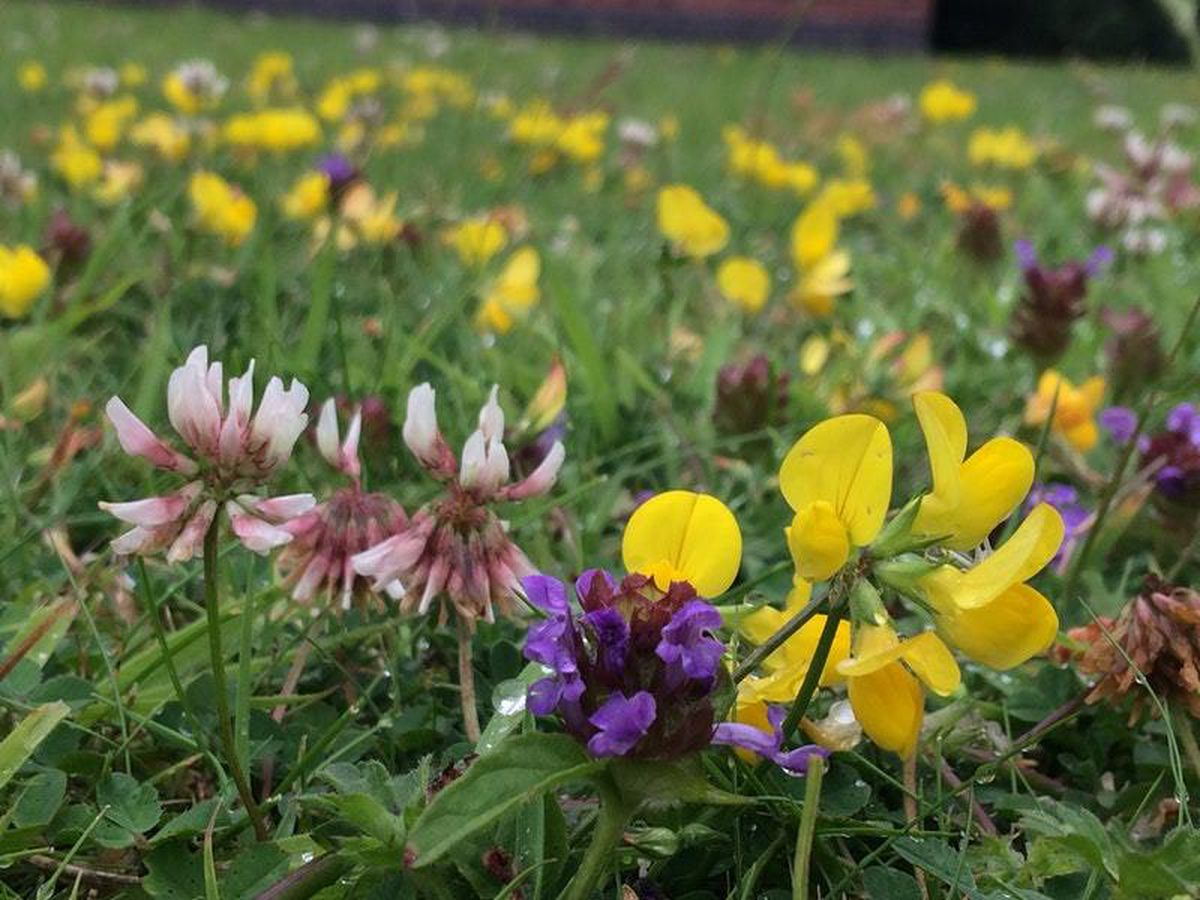 Short grass lawn with bird's-foot trefoil, selfheal and clover