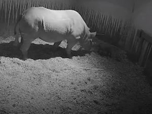 A baby rhino and his mother at Rotterdam Zoo