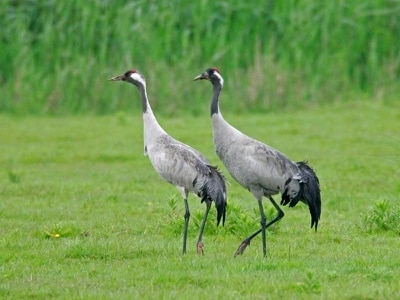 Common cranes enjoy best year since 17th century, experts say
