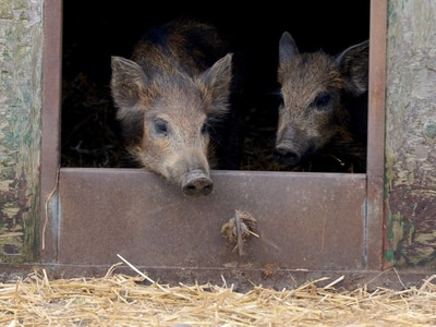 WATCH: Wild boar trot out into new home