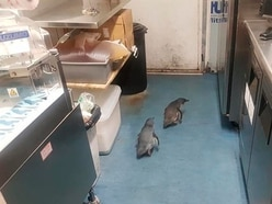 Penguins attempt to nest at sushi takeaway