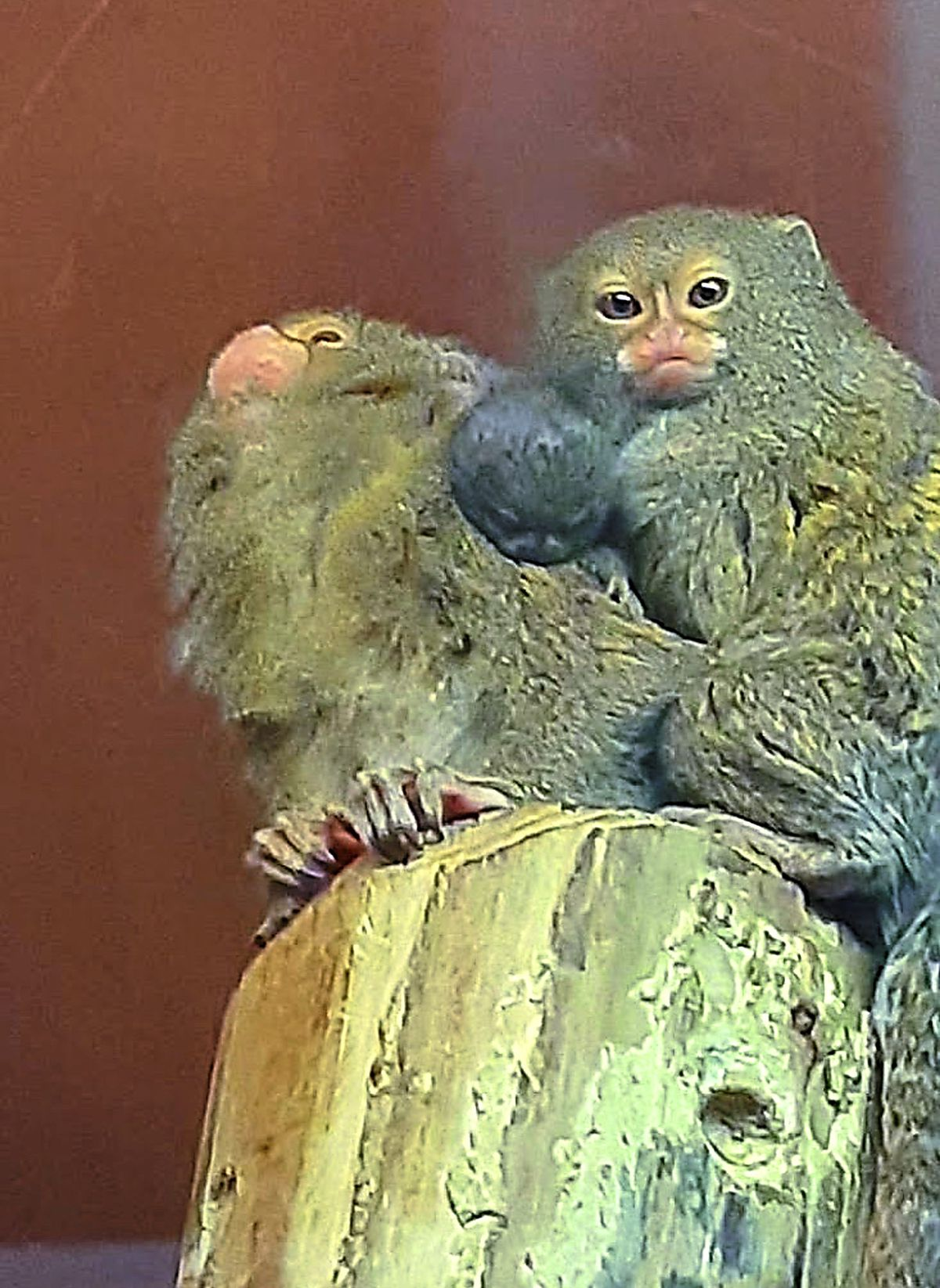 A pygmy marmoset baby inbetween a proud mum and dad at Dudley Zoo