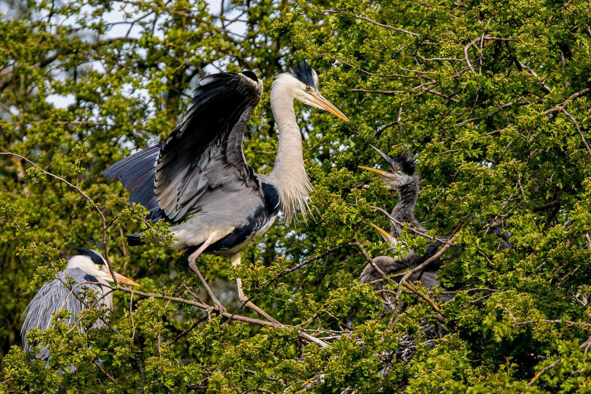 Checking the kids. Heronry at Sandwell Valley RSPB reserve by Steven Kendrick.
